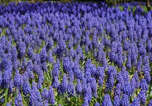 Planting your Bulbs for an Early Spring Blossom