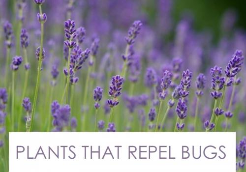 Landscape Designer Specializing in Plants that Repel Bugs