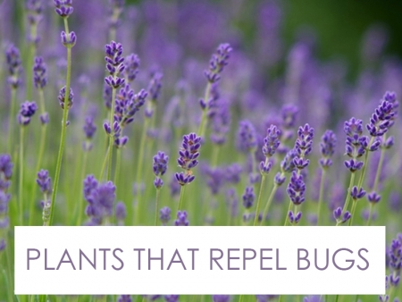 Landscape Designer Specializing in Plants that Repel Bugs