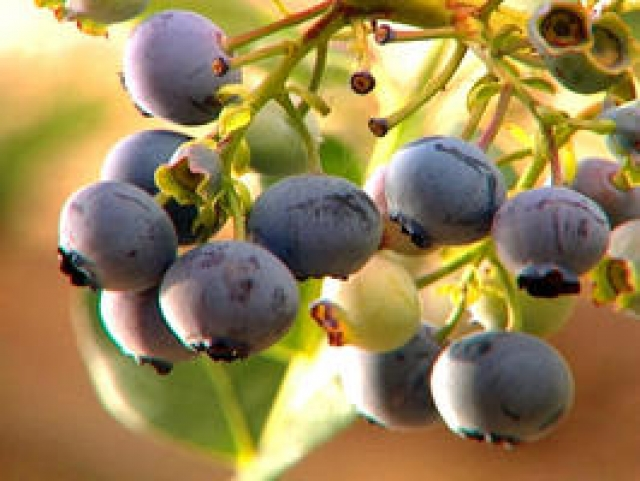 Five Blueberry Growing Tips For Your Garden